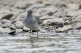 Grey-tailed Tattler  Tringa brevipes