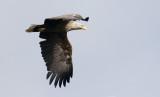 White-tailed Sea-eagle  Haliaeetus albicilla