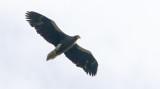 Steller's Sea-eagle  Haliaeetus pelagicus