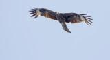 Black Kite  Milvus migrans lineatus