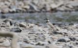 Long-billed Plover  Charadrius placidus