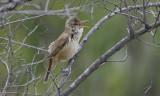 Oriental Reed-warbler  Acrocephalus orientalis