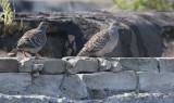 Oriental Turtle-dove  Streptopelia orientalis orientalis