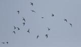 Pacific Swift  Apus pacificus