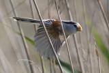 Northern Parrotbill Paradoxornis polivanovi