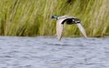 Falcated Duck  Mareca falcata.