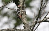 White-backed Woodpecker  Dendrocopos leucotos