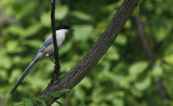 Asian Azure-winged Magpie  Cyanopica cyanus