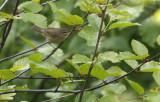 Dusky Warbler  Phylloscopus fuscatus.