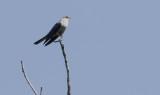 Oriental Cuckoo  Cuculus saturates