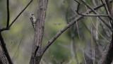 Japanese Pygmy Woodpecker  Picoides kizuki