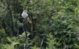 Korean Bush-warbler  Horornis canturians