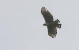 Mountain Hawk-eagle  Nisaetus nipalensis