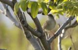 Pleske's Grasshopper-warbler  Locustella pleskei