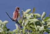 Long-tailed Rosefinch  Carpodacus sibiricus