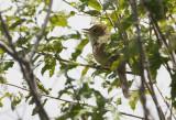 Thick-billed Warbler  Arundinax aedon