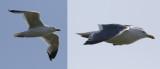 Slaty-backed Gull  Larus schistisagus