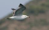Black-tailed Gull  Larus crassirostris