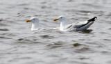 Mongolian gull, Larus mongolicus