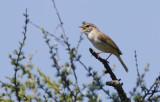 Radde's Warbler  Phylloscopus schwarzi.