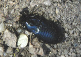 Notiobia mexicana; Ground Beetle species