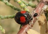 Chilocorus cacti; Cactus Lady Beetle