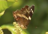 Anartia fatima; Banded Peacock