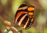 Dryadula phaetusa; Banded Orange Heliconian