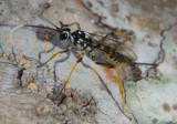 Ichneumonidae Ichneumon Wasp species