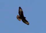 Short-tailed Hawk; dark morph
