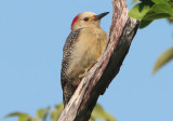 Velasquez's Golden-fronted Woodpecker; female