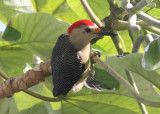 Velasquez's Golden-fronted Woodpecker; male