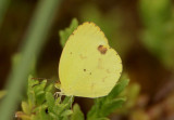 Eurema nise; Mimosa Yellow; female