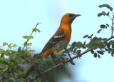Hooded Oriole; female