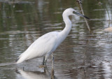 Little Blue Heron; juvenile