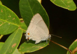 Rekoa marius; Marius Hairstreak