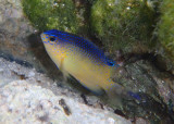 Beaugregory Damselfish; juvenile