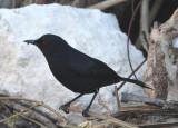 Black Catbird