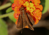 Corticea corticea; Redundant Skipper