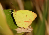 Eurema mexicana; Mexican Yellow