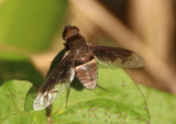 Exoprosopa Bee Fly species
