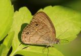 Hermeuptychia sosybius; Carolina Satyr