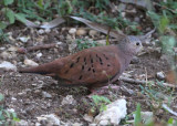Ruddy Ground-Dove; male