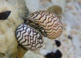 Zebra Nerites
