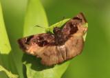 Zera hyacinthinus; Bruised Zera
