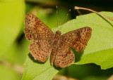Calephelis Metalmark species