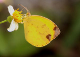 Eurema dina; Dina Yellow; female