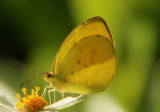Eurema dina; Dina Yellow; male