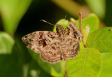 Gorgythion begga; Variegated Skipper