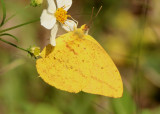 Phoebis agarithe; Large Orange Sulphur; male
